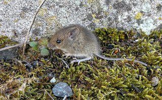 Cute Baby Field Mouse