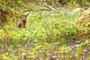 Muntjac Deer (skoop102) Tags: deer muntjac muntjacdeer bluebells flowers wildlife warwickshire coventry canon