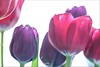 Red and Purple (haberlea) Tags: home athome tulips red purple white onwhite flowers
