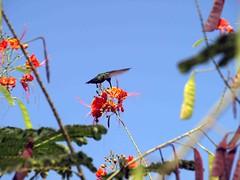 Dominica Humming bird (saxonfenken) Tags: 6858bird 6858 hummingbird tropical challengeyouwinner cyunanimous dominica perpetual storybook