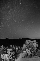 _DSC8214 (andrewlorenzlong) Tags: joshua tree national park joshuatree joshuatreepark joshuatreenationalpark california desert cholla chollas cactus garden chollacactusgarden