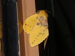 Trabala pallida (dhobern) Tags: 2018 china lepidoptera march xtbg xishuangbanna yunnan lasiocampidae lasiocampinae trabalapallida