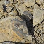 Isotelus pygidium thumbnail