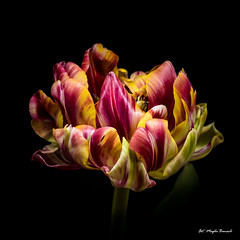 Multicolored tulip 2 (Magda Banach) Tags: canon canon80d sigma150mmf28apomacrodghsm blackbackground colors flora flower flowers green macro nature plants red tulip yellow