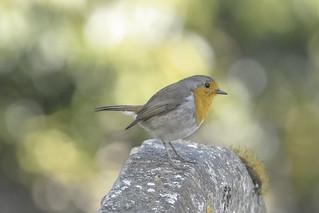 Grave robin