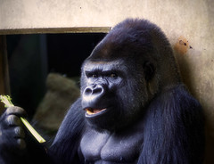 Cecil (Southern Darlin') Tags: silverback gorilla primate gentle ape animal mammal wild wildlife endangered nature eating snack photography photo canon zoo louisville