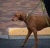 Out For A Walk (Scott 97006) Tags: dog canine animal pet leash cute walk