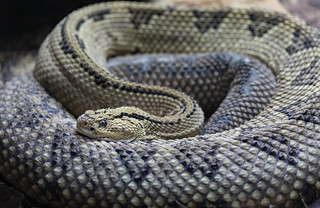 Northwestern Neotropical Rattlesnake  040418-3156
