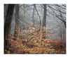 _57A2841 (ciollileach) Tags: woodland landscapephotography landscape sherwoodforest trees arboreal pines mist atmosphere beech copperbeech silverbirch
