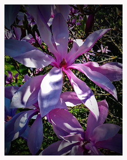 Magnolia is blossoming again !