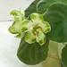 非洲紫羅蘭 Saintpaulia AV-Kiwi   [香港花展 Hong Kong Flower Show]