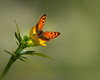 Surprise ! (FocusPocus Photography) Tags: kleinerfeuerfalter smallcopper tier animal schmetterling butterfly insekt insect lycaenaphlaeas butterblume buttercup wiese meadow frühling spring