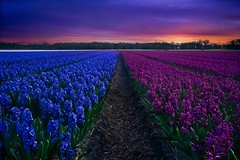 Hyacint purple-blue field (l.cutolo) Tags: worldtrekker dutchscape saturation flowers blue highcontrast netherlands hollandscape perfecteffect sunset ngc tulips hdr flickr onesoftware purplesunsetsky raw2018 sonya7ii sony tlp dutchlandscape tulip hyacinth blomen worldtrekking lucacutolo landscape onone digitalblending vignette purple sonyfe1635mmf28gm