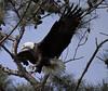 Yorktown bald eagle - Virginia (watts_photos) Tags: yorktown eagle virginia bald eagles raptor bird birds