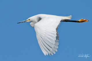 First Snowy Egret of 2018