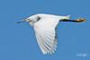 First Snowy Egret of 2018 (dcstep) Tags: dsc2787dxo egret snowyegret bif birdinflight flying waterbird flight cherrycreekstatepark colorado greenwoodvillage allrightsreserved copyright2018davidcstephens dxophotolab pond bluesky blue sky white yellow black