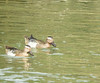 Garganey (Birdwatcher18) Tags: garganey ducks waterbird birding birder nature water sail