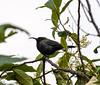 Green-throated Sunbird (WildGinger2013) Tags: greenthroated sunbird
