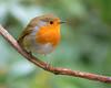 Robin (www.neilporterphotography.com) Tags: robin bird wildlife rspb outdoors wild
