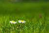 Happy together! (bharathputtur122) Tags: bokeh dof depth of field daisies flower grass sunny nature happy lovely uk nikkor nikon d700