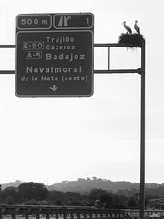 Cigüeñas (vitometodio) Tags: cigüeñas storks autovía carretera highway caceres trujillo badajoz navalmoraldelamata extremadura pájaros birds dualcarriageway bnw bnwlife bnwworld blancoynegro blackandwhite bnwpeople bnwphoto bnwglobe bnwplanet blackandwhitephotography olympus vitometodio olympusomdem5markii olympus75mmf18mzuikoed