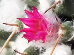 Cactus (Mammillaria maycobensis) flower (shadowshador) Tags: cactus mammillaria maycobensis flower neomura eukaryota archaeplastida plantae plant plants tracheobionta spermatophyta magnoliophyta magnoliopsida caryophyllidae caryophyllales cactaceae cactoideae cacteae cactinae taxonomy scientific classification biology botany wildlife life pink