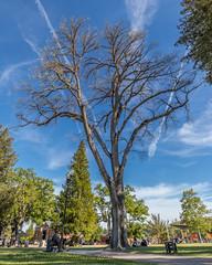 IMG_3818 (WolfeMcKeel) Tags: san jose vacation april 2018 rick myrna paso robles main square town center tree park sunny california