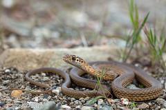 San Joaquin Coachwhip (Masticophis flagellum ruddocki) (David A Jahn) Tags: san joaquin coachwhip snake coluber masticophis flagellum ruddocki northern california