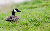 Canadian Goose II (dbking2162) Tags: canadian birds bird nature nationalgeographic wildlife green ducks animal indiana