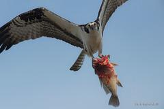 One big fish... (Earl Reinink) Tags: fish fishing bird animal nature wildlife osprey flying eyes sky earl reinink earlreinink ttrdjdpdza