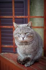 zaza (Angelo Petrozza) Tags: 35mm hd limited gatto cat zaza pentaxk70 angelopetrozza portrait ritratto