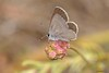 Cupido (Cupido) minimus (Fuessly, 1775) (Jesús Tizón Taracido) Tags: lepidoptera papilionoidea lycaenidae polyommatinae polyommatini cupidominimus