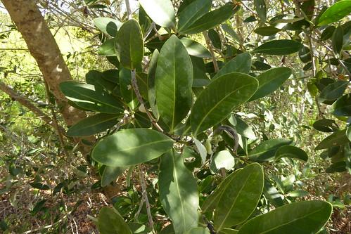 foliage_7, Avicennia germinans