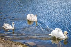 Swans, Gartmorn Dam 3, Scotland (picsbyCaroline) Tags: water bird swans swim dam scotland nature sun calm close swan animal birds sea loch reservoir