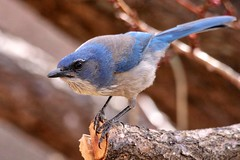 """""""Hey pal, remember your New Year's resolution to lose 15 pounds? ..... Well, congratulations, it looks like you only have about 25 more to go!"""" (Parowan496) Tags: jay scrubjay westernscrubjay blue fowlmouth bird tree branch aphelocomacalifornica spring apricottree"""