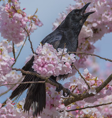 Northwestern Crow (Corvus caurinus) (ekroc101) Tags: birds northwesterncrow corvuscaurinus bc vancouver coalharbour cherryblossom prunusserrulata plants
