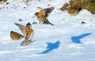 Redwings / Skógarþrestir (Turdus iliacus)