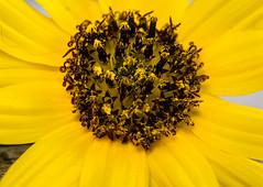"Dawn Daisy (risaclics) Tags: crazy tuesday theme7dwffill frame macro mondays circles make me smile 60mmmacro april2018 nikond610 daisy flora flower yellow ""circlescrazy framemacro mondayscirclesmake smile60mm macroapril 2018nikon d610daisyflorafloweryellow""circles ""circles smileonsaturday springflower"
