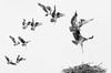 osprey landing (Stefanie Timmermann) Tags: osprey nestmale female landing flying midair blackandwhite