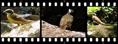 Kiskadee (?) (asterisktom) Tags: tripsouthamerica2017 2017 september colombia minca bird vogel ave 鸟 птица 鳥 pajaros sequence flycatcher