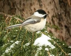 Black Capped Chickadee . . . (Dr. Farnsworth) Tags: bird small chickadee blackcappedchickadee cedar branch snow sleet blizzard fernridge mi michigan spring april2018