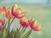 Tulips through the window (Brenda Gooder Photography) Tags: tulips spring ngc