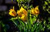 Yellow Tulips (rrichrd1) Tags: nikon d5100 spring tulip yellow