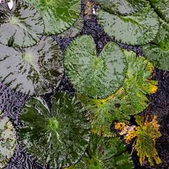 Still Life in Pond (Konrad Kasperski) Tags: pond water rain rainfall reflection thick lily botanical sigma sigma30mmf14art