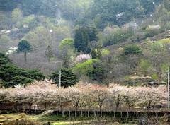Spring snow (MelindaChan ^..^) Tags: hadong skorea 河東 cherry blossom tree bloom spring chanmelmel mel melinda melindachan rural countryside snowing snow travel