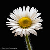 Daisy (daviddent1) Tags: flower floraandfauna daisy macro photostacking helion