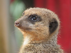 """Meerkat gang member, of the Mob"" (seanwalsh4) Tags: meerkat african nature simples cute mob gang animals adorable bristolzoo seanwalsh canon funny nice love delightful group family sweet"