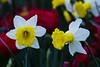 Flowers. (ost_jean) Tags: flowers fleurs narcissen nikon d5300 tamron sp 90mm f28 di vc usd macro 11 f004n daffodils
