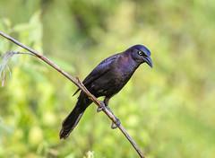 Common Grackle (Mike_FL) Tags: bird nikon nikond7500 tamron100400 common grackle great heron