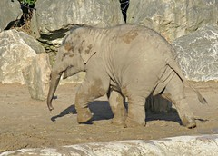 Muddy! ('cosmicgirl1960' NEW CANON CAMERA) Tags: chester zoo animals elephants conservation nature wildlife baby babies young juvenile yabbadabbadoo